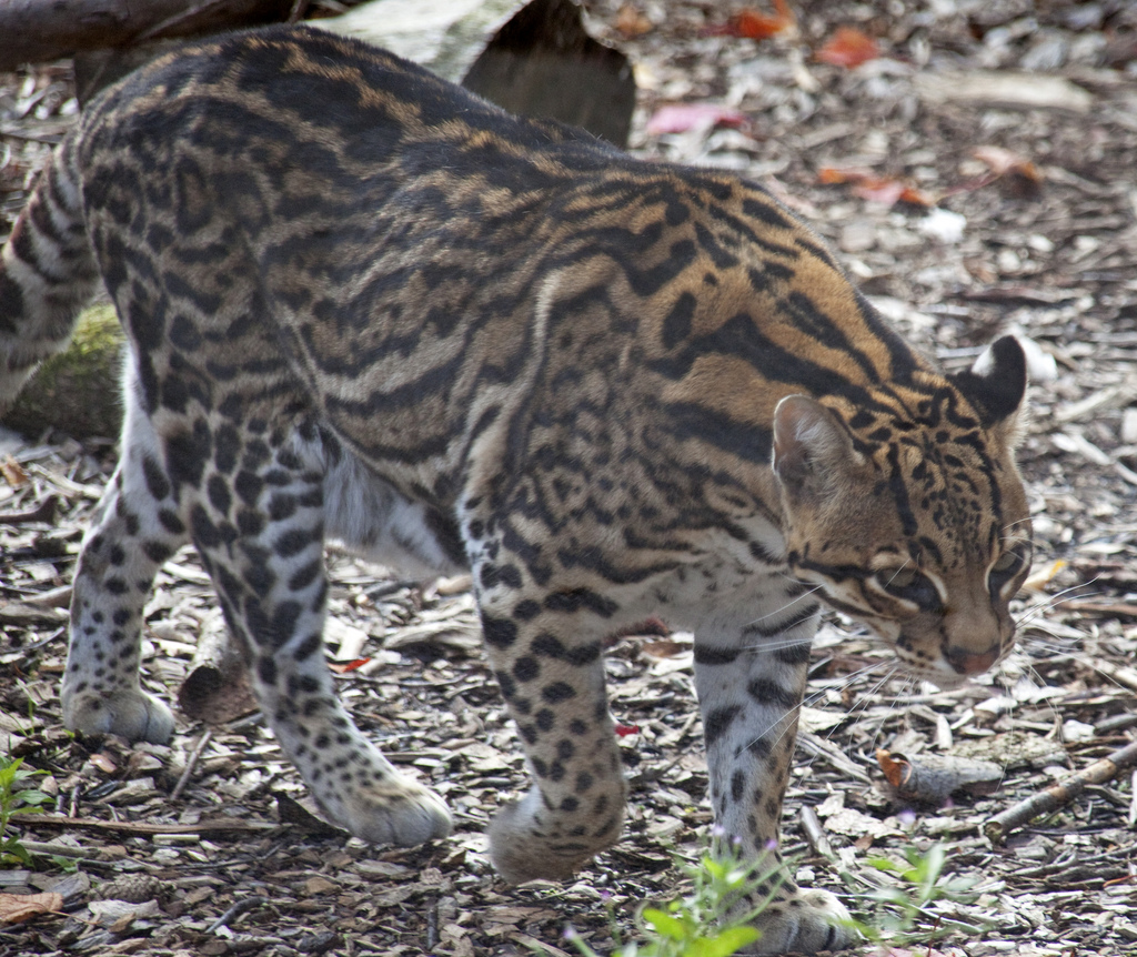 All About Big Cats